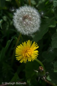 140507-3stages of Dandelion