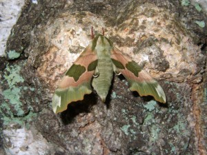 17-05-07 Lime Hawk Moth by Jill Marshall