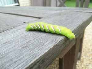 Privet Hawkmoth Caterpillar By Kay Probert