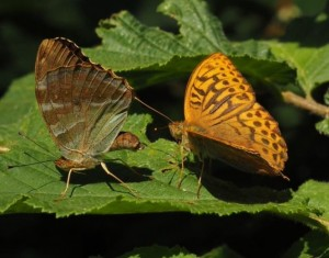 Silver Washed Fritillaries 07-07-17 by James Fowler