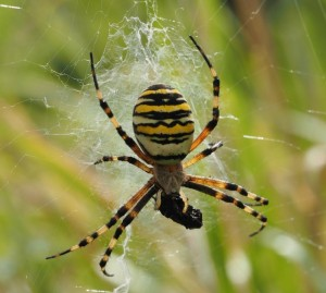 Wasp Spider by James Fowler